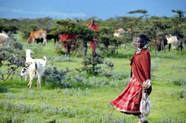 cows and maasai